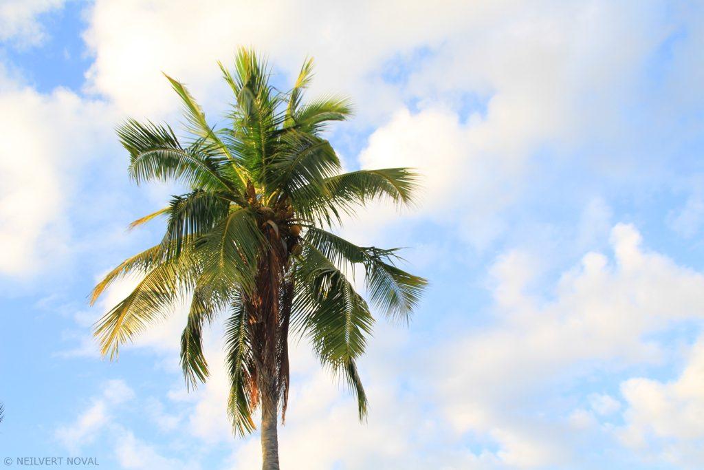 Coconut tree. Kalaggaman Island.